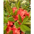 Rhododendron 'Fanal'