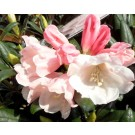 Rhododendron 'Kolchiro Wada'