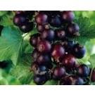 Ribes 'Jostaberry'