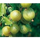 Ribes Uva-crispa 'Invicta'