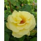 Rosa 'Allgold'
