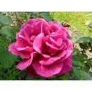 Rosa 'Blackberry Nip'