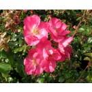 Rosa 'Cherie'
