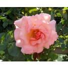 Rosa 'Compassion'