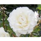 Rosa 'Eloise'
