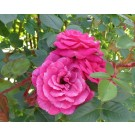 Rosa 'Gloriana'