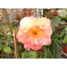 Rosa 'Metanoia'