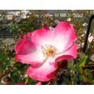 Rosa 'Rush'