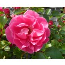 Rosa 'Top of the Bill'