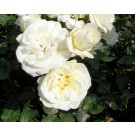Rosa 'Wedding Rose'