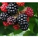 Rubus fruticosus 'Chester Thornless'