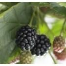 Rubus fruticosus 'Loch Ness'