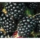Rubus fruticosus 'Thornless Evergreen'
