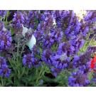 Salvia nemorosa 'Heumanarc'