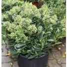 Skimmia japonica 'Thereza'
