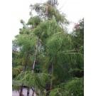 Taxodium distichum 'Nutans'