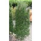 Taxus baccata 'Overeynderi'
