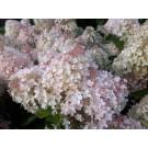 Hydrangea macrophylla 'Magical Jade'