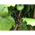 Ribes nigrum 'Öjebyn'