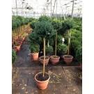 Buxus sempervirens (Stam 80/100 cm)