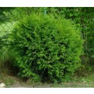 Thuja occidentalis 'Little Champion'
