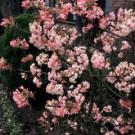 Viburnum bodnantense 'Charles Lamont'
