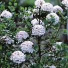 Viburnum burkwoodii 'Anne Russell'