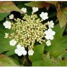 Viburnum opulus 'Nanum'