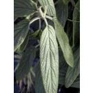 Viburnum 'Rhytidocarpum'