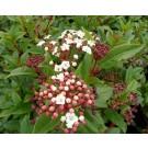Viburnum tinus 'Anvi'