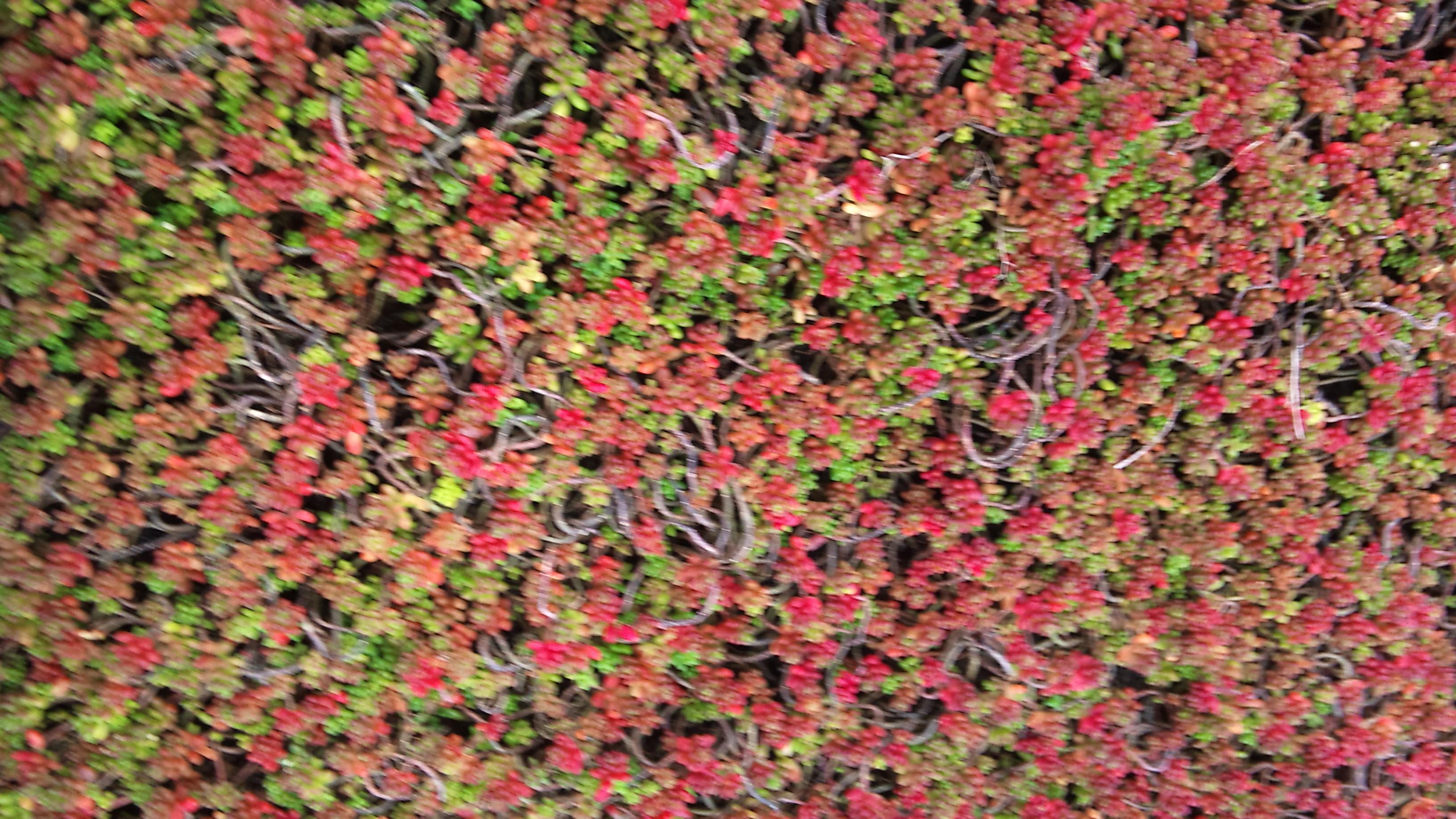 Alle bedrijven online vetkruid pagina 1 - Sedum album coral carpet ...